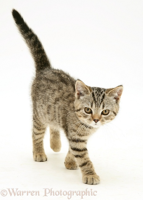 Tabby kitten walking, white background