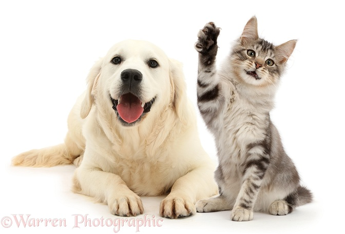Happy Golden Retriever and silver tabby kitten, Loki, 3 months old, with raised paw, white background