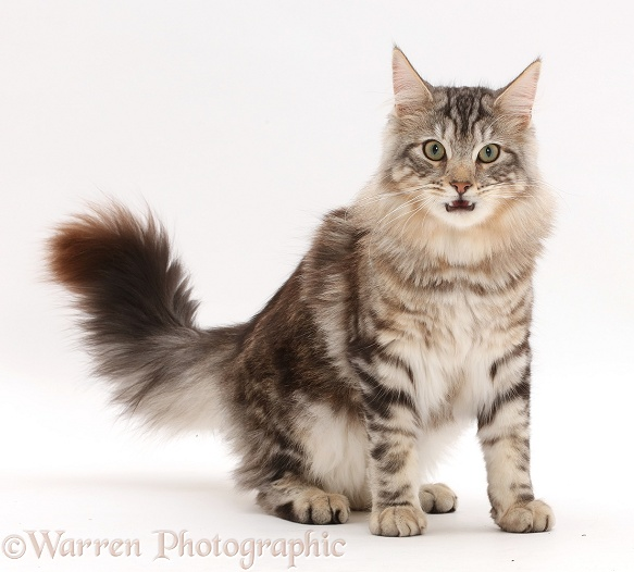 Silver tabby cat, Loki, 7 months old, sitting, with mouth open, white background