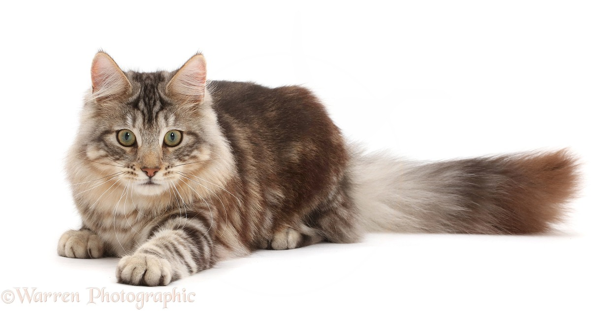 Silver tabby cat, Loki, 7 months old, paw outstretched, ready to pounce, white background