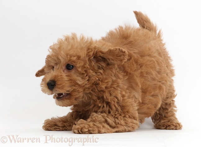 Dog Red Toy Labradoodle Puppy In Play Bow Photo Wp42935