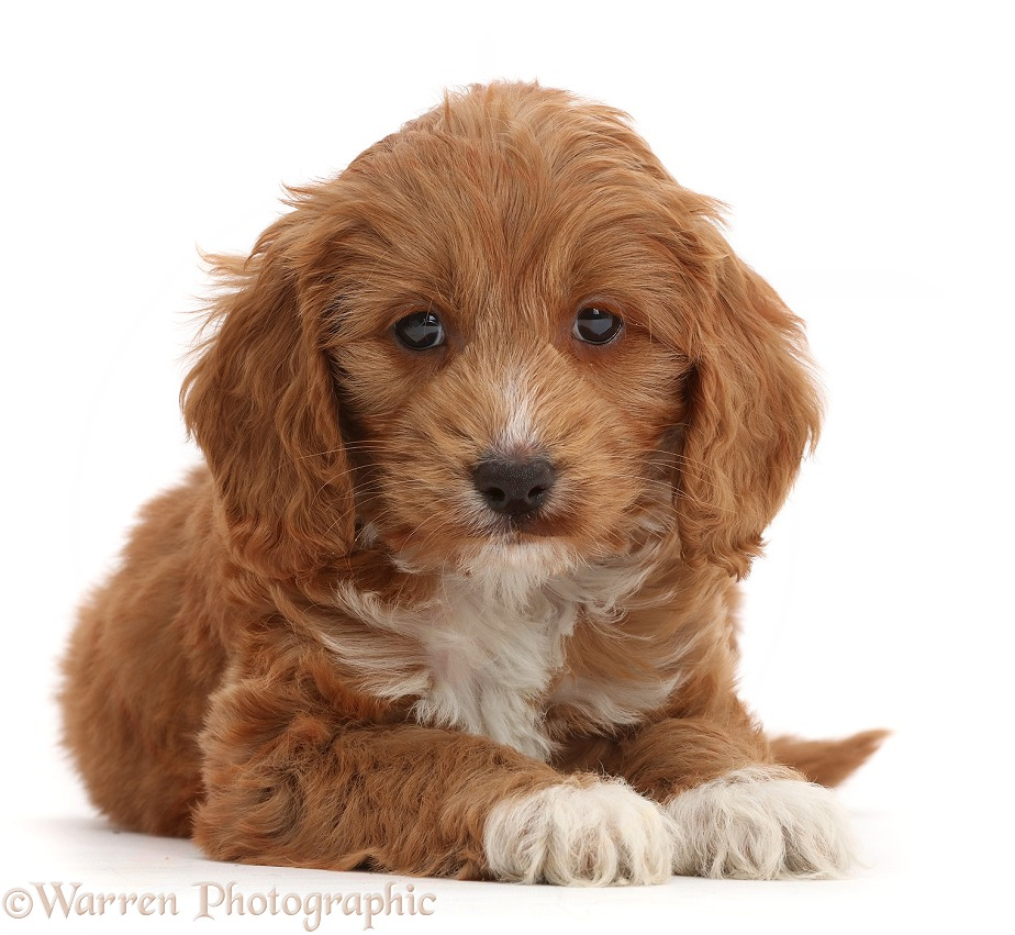 Red Toy Cockapoo puppy, white background
