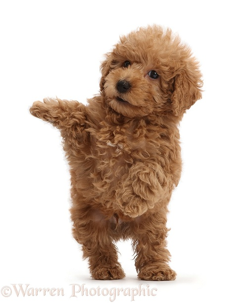 Red Toy labradoodle puppy jumping up, white background