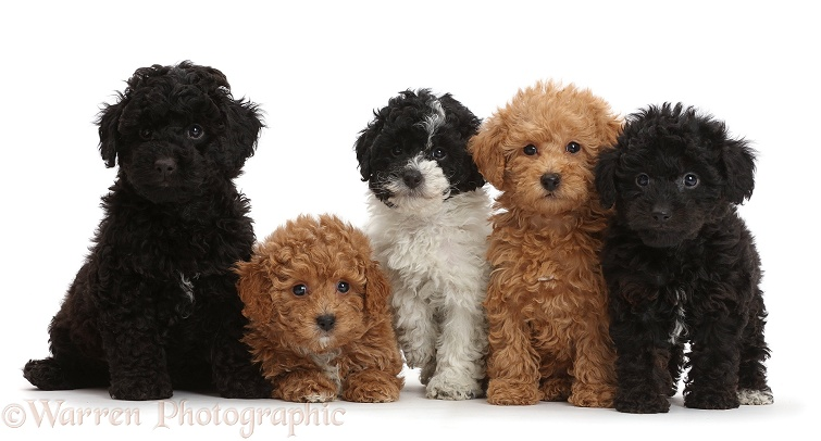 Five Toy labradoodle puppies in a row, white background