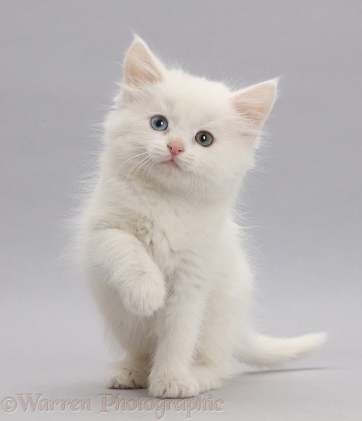 cats animals white background 3000x2000 wallpaper High ...   White Cats Blue Background