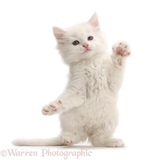 White kitten dancing, white background