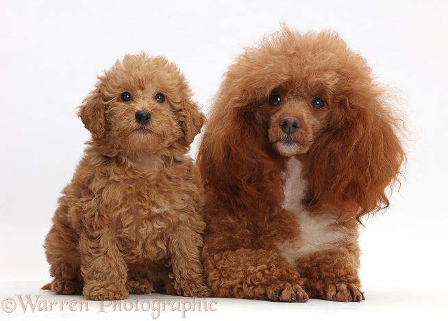 Red Poodle father and Labradoodle puppy, white background