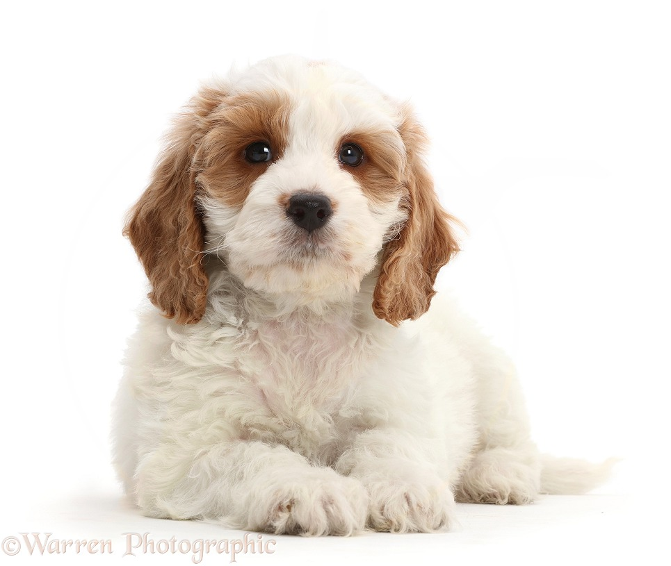 Red-and-white Cockapoo puppy, white background