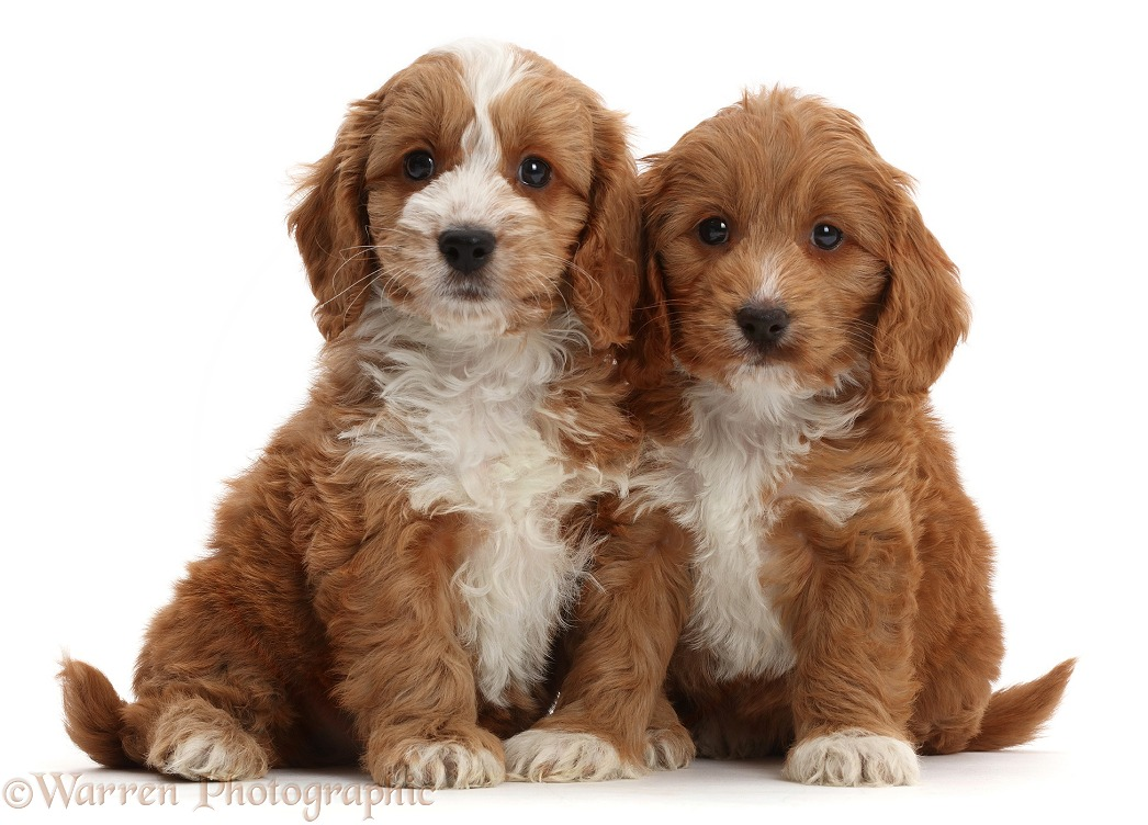 Two Red Toy Cockapoo puppies, white background