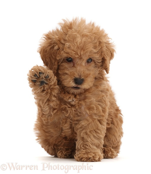 Red Toy labradoodle puppy waving, white background