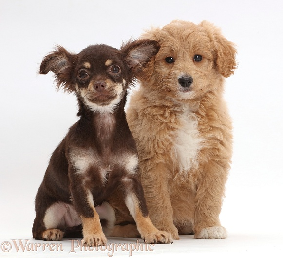 Chocolate-and-tan Chihuahua with Cavapoo puppy, white background