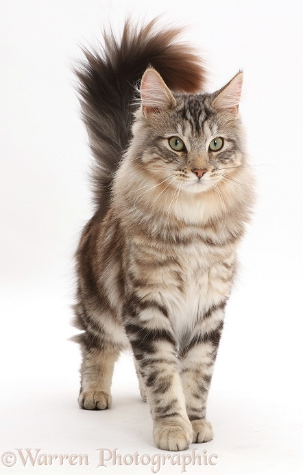 Silver tabby cat, Loki, 7 months old, standing with tail erect, white background