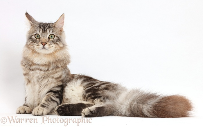 Silver tabby cat, Loki, 7 months old, lying, white background