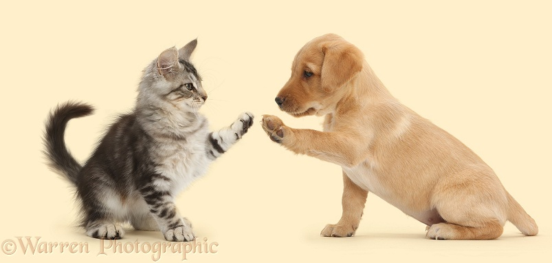 Silver tabby kitten, Loki, 12 weeks old, doing a high-five with Yellow Labrador Retriever puppy, white background