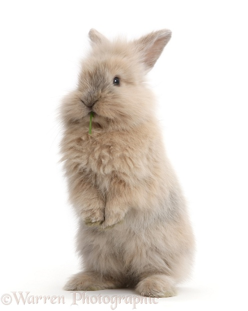 Young rabbit standing up, white background
