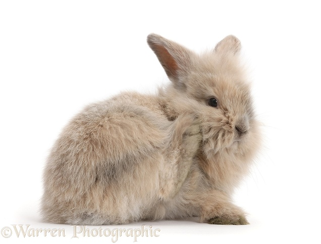 Young bunny scratching her face with a hind foot, white background