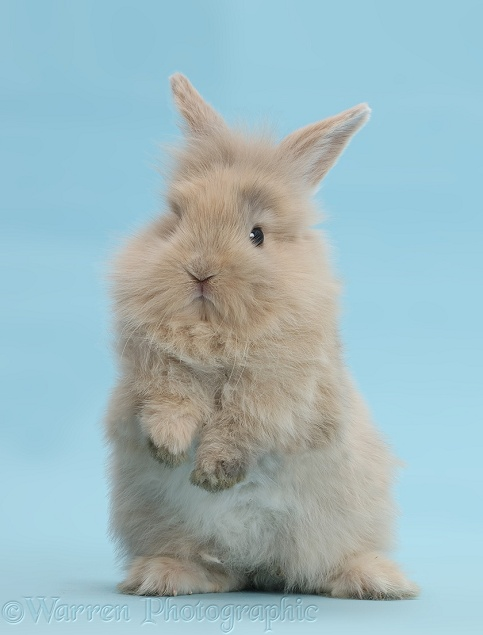 Young rabbit standing up on blue background