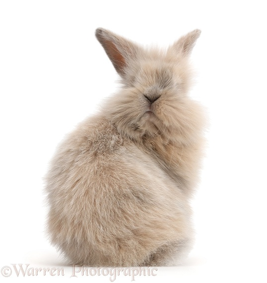 Young rabbit looking over her shoulder, white background