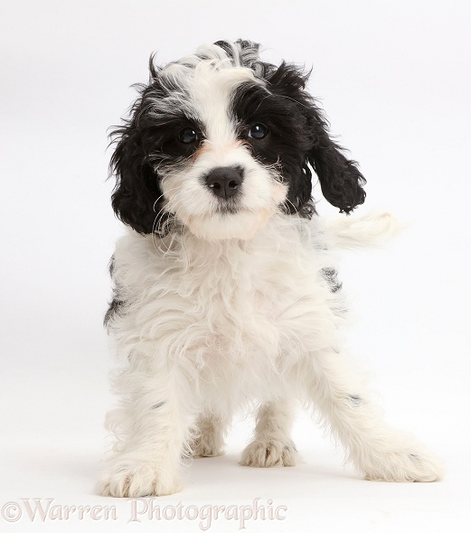 Playful black-and-white Cavapoo puppy, 13 weeks old, white background