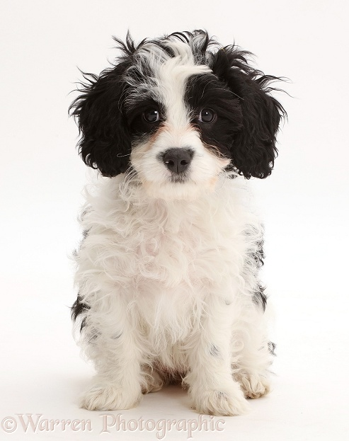 Black-and-white Cavapoo puppy, 13 weeks old, white background