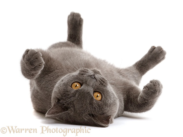 Blue British Shorthair cat lying on his back, white background