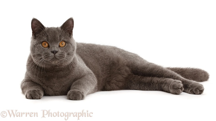 Blue British Shorthair cat, white background