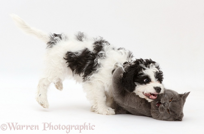 Blue British Shorthair cat play-fighting with black-and-white Cavapoo puppy, 13 weeks old, white background
