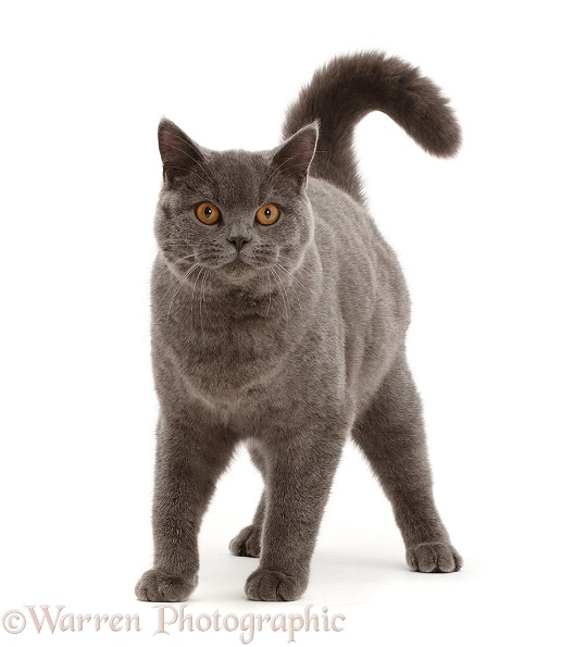 Blue British Shorthair cat standing, white background