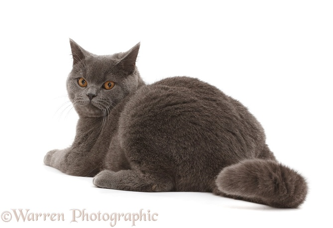 Blue British Shorthair cat looking over his shoulder, white background