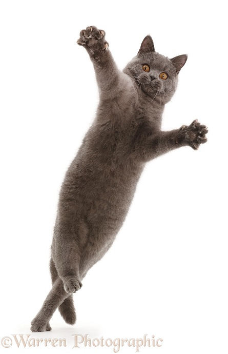 Blue British Shorthair cat leaping with outstretched arms, white background