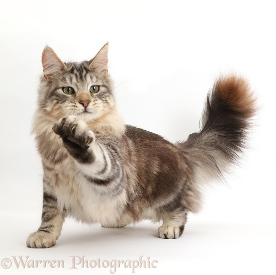 Silver tabby cat, Loki, 8 months old, paw outstretched, white background