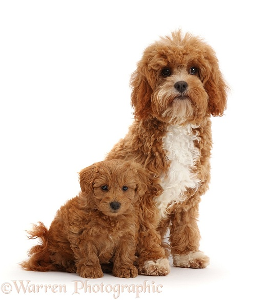 Red Cavapoo adult and puppy, white background