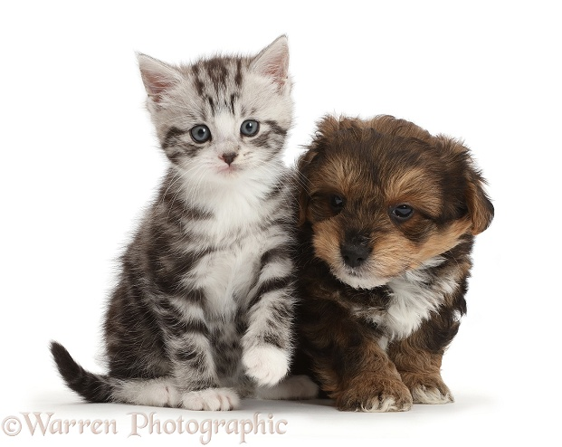 Silver tabby kitten with Cavapoo puppy, white background
