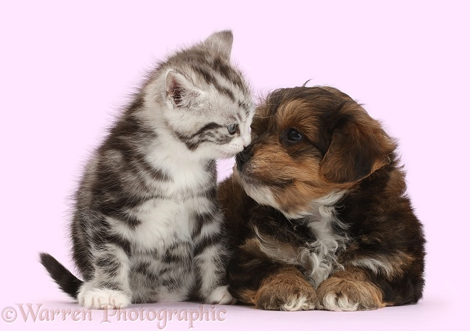 Silver tabby kitten loving Cavapoo puppy, white background