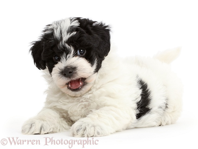 Dog Playful Black And White Cavapoo Puppy Photo Wp43077