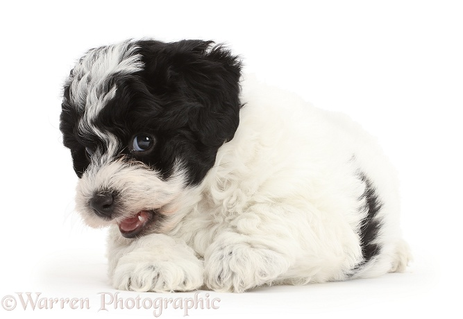 Playful black-and-white Cavapoo puppy, white background