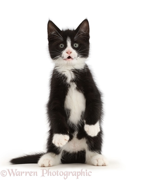 Black-and-white kitten, Solo, 7 weeks old, standing on hind legs like a meerkat with front paws hanging, white background