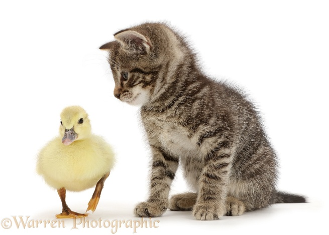 Tabby kitten looking at yellow duckling, white background