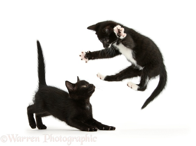 Black-and-white kitten, Tuxie, 7 weeks old playfully leaping at his brother, Buxie, white background