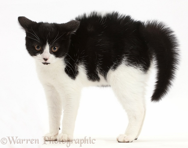 Black-and-white kitten, Loona, 3 months old, in frightened witch's cat posture, white background