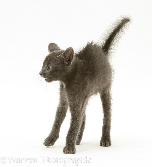 Alarmed blue kitten in defensive posture, ready to strike, white background