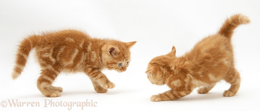 Red tabby British Shorthair kittens defensive and aggressive with each other, white background