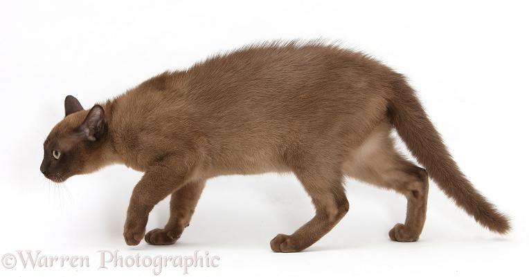 Young Burmese cat looking defensive and stalking away, white background