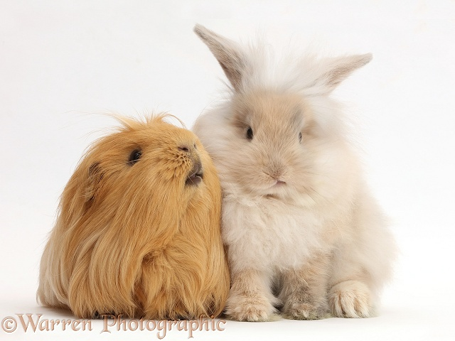 Beige bunny and ginger Guinea pig, white background