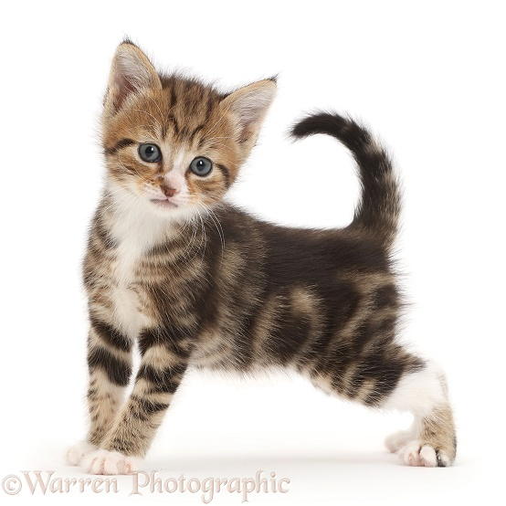 Cute tabby kitten, 4 weeks old, white background