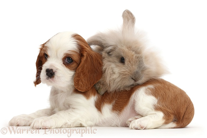 Cavalier puppy and fluffy bunny, white background
