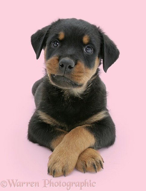Rottweiler pup lying, paws crossed, white background