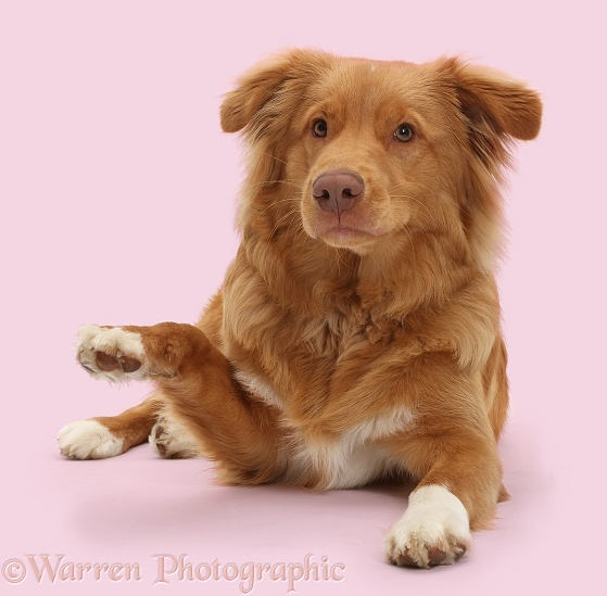 Nova Scotia Duck Tolling Retriever dog, 6 months old, pointing with a paw, white background