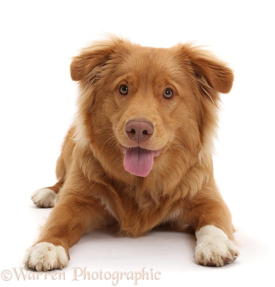 Nova Scotia Duck Tolling Retriever dog, 6 months old, white background