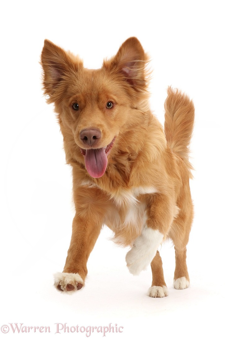 Nova Scotia Duck Tolling Retriever dog, 6 months old, leaping forward, white background